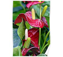Red Anthurium andraeanum Poster