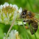 Bee At Ground Level by relayer51