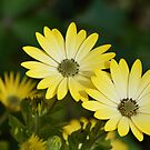 Cape Daisies by shalisa
