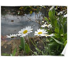 Waterside daisys. Poster