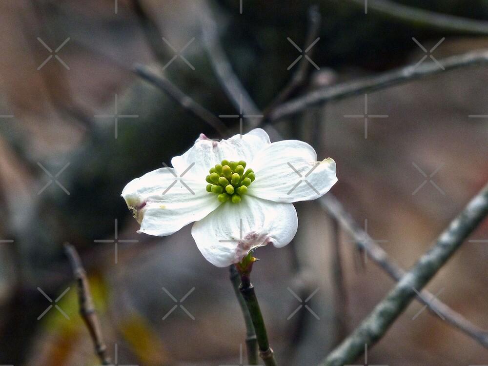 Dogwood Bloom by Susan S. Kline