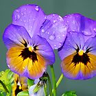 Purple and Yellow Pansy by Tori Snow