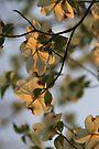 Dogwood Sunset by NatureGreeting Cards ©ccwri