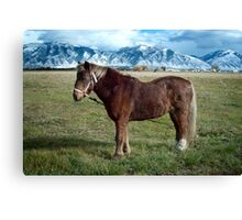 Shaggy Pony Canvas Print