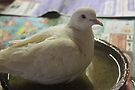 Little White Dove 3 - having a bath by Maree  Clarkson
