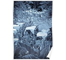 Selenium Calla Lilies Poster