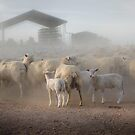 Sheep in the dust. by Mick Kupresanin