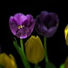 Purple Tulips by THHoang