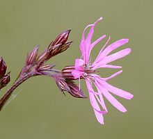 RAGGED ROBIN - I think! by Marilyn Grimble
