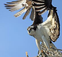 Osprey:Great wing action!! by jozi1