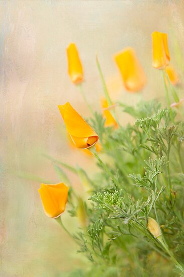 California Poppy by Marilyn Cornwell