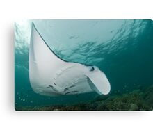 Manta Profile Canvas Print