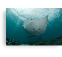 Among Manta Rays Canvas Print