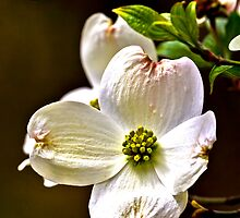2014 April Dogwood Blossoms No 1 by Rick  Grisolano Photography LLC