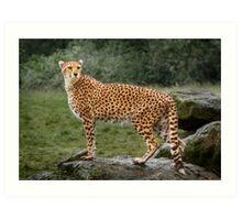 Big Cat Cheetah Art Print