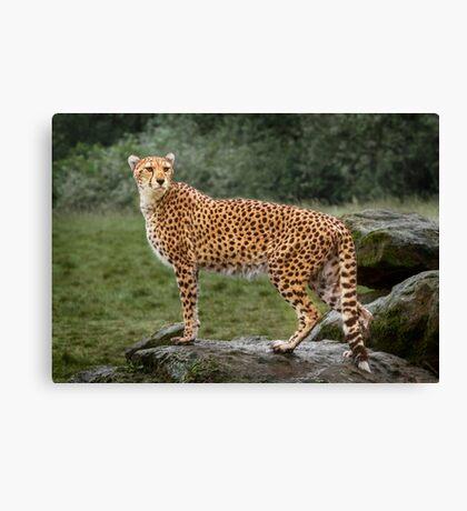 Big Cat Cheetah Canvas Print