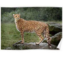 Big Cat Cheetah Poster