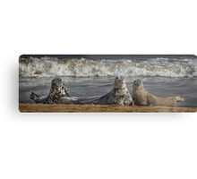 Three Atlantic Grey Seals Metal Print