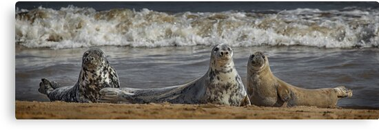 Three Atlantic Grey Seals by Patricia Jacobs DPAGB LRPS BPE4
