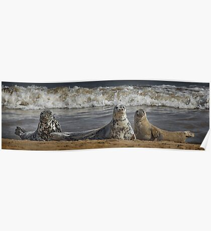 Three Atlantic Grey Seals Poster