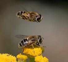 Hoverflies by hanspeters