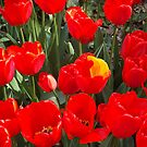 Colorful Tulips, Muuray Hill, New York City by lenspiro