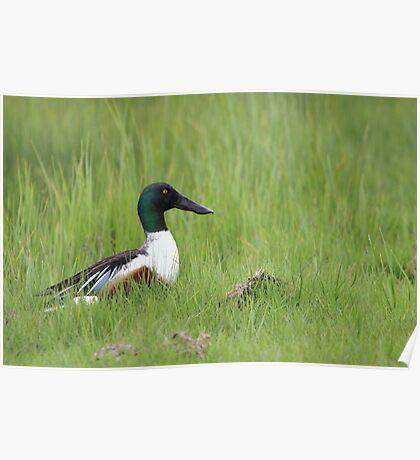 Male Shoveler duck Poster