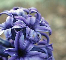 Ant on Hyacinth by chrstnes73