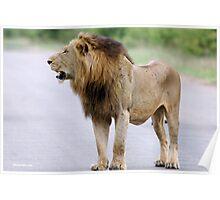 UP CLOSE - THE LION - Panthera leo - DIE LEEU Poster