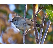 Brown Thornbill Photographic Print