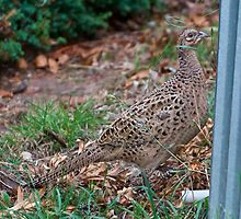 Common Pheasant by tasmanianartist