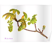 New Leaves and Catkins No. 2 Poster