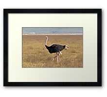 Male Ostrich Framed Print