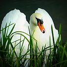 Somerset Mute Swan by Meladana