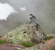 Peregrine Falcon  by Sandy Sutherland