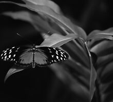 The Postman (Butterfly in B&W)  by Sarah Thompson-Akers