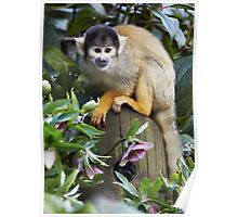 Black-capped Squirrel Monkey Poster