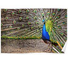 Peacock.....Escot Park, Devon Poster