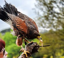 Tasty Snack For A Harris Hawk......... by lynn carter