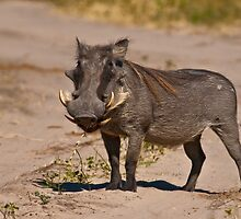 Mature male Warthog by Konstantinos Arvanitopoulos