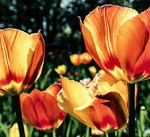 Tulips from Amsterdam by RMarks