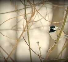 Black Capped Chickadee by Barbara Gerstner