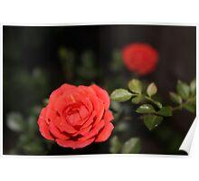 Roses, Roses, Roses Poster