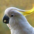 Sulphur-crested Cockatoo by stevealder