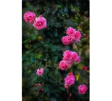 Climbing roses in a historic setting Photographic Print