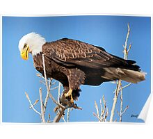 American Bald Eagle Looking for Dinner Poster