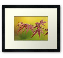 maple leaves in spring Framed Print