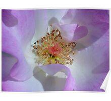 Deep Inside A Purple-Coloured Rose Poster