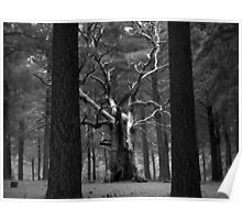 Scary Trees- Kuitpo Forest Poster