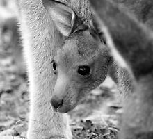 Eastern Grey Joey (Macropus giganteus) by Laurakeet